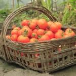 tomatinhos_organicos (2)